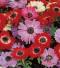 כלנית פרח מלא